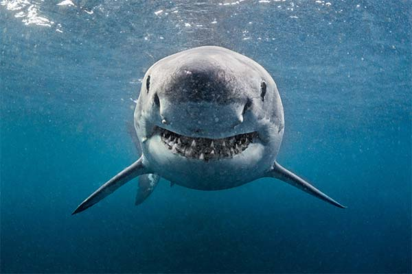 Сонник акула: до чого сниться і що означає сон про акулу