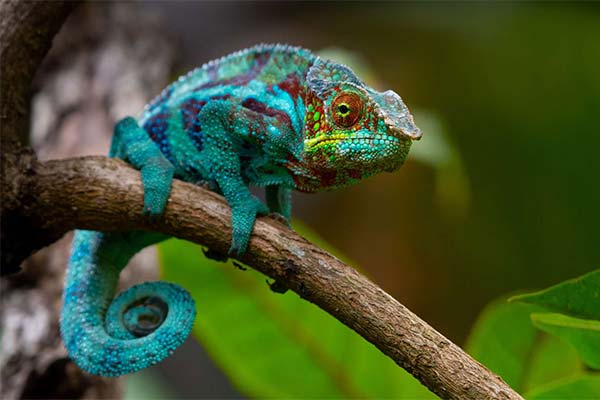 Сонник хамелеон: до чого сниться і що означає сон про хамелеона