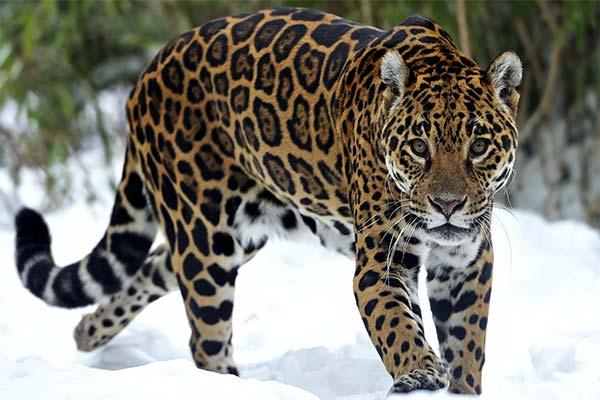 Сонник ягуар: до чого сниться і що означає сон про ягуара