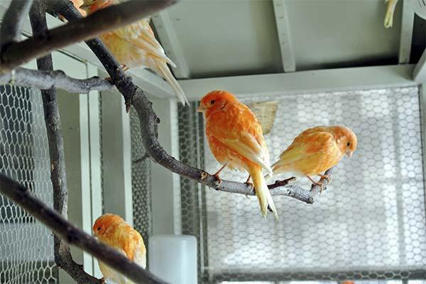 Сонник канарейка: до чого сниться і що означає сон про канарку