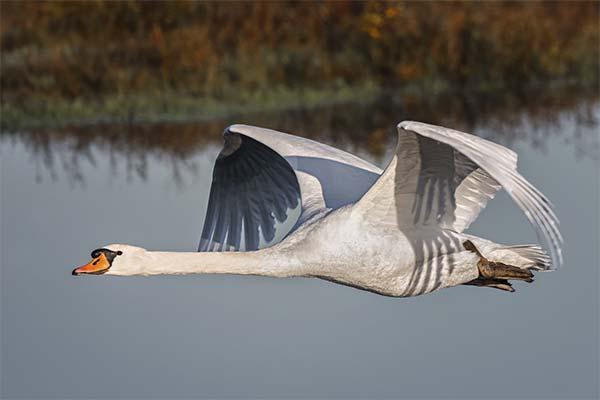 Сонник лебеді: до чого сняться і що означають сни про лебедів