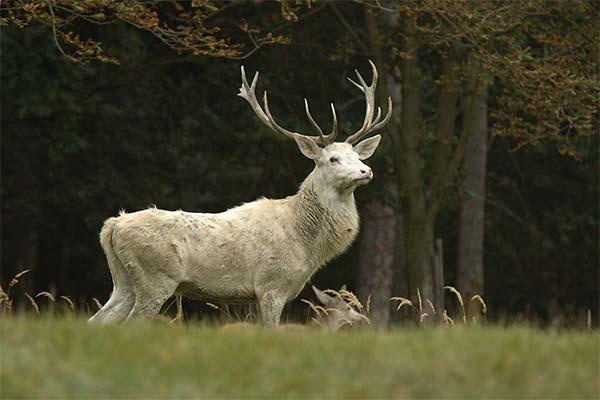 Сонник олень: до чого сниться і що означає сон про оленя
