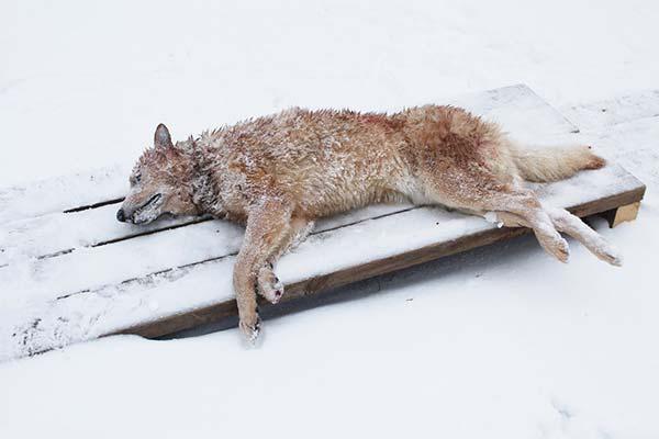 Сонник вбити вовка: до чого сниться і що означає сон про вбивство вовка