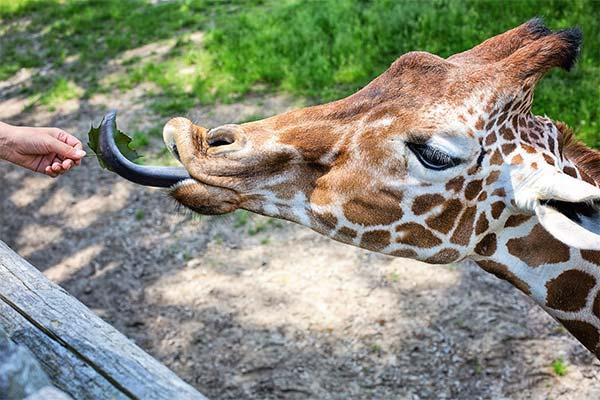 Сонник жираф: до чого сниться і що означає сон про жирафа