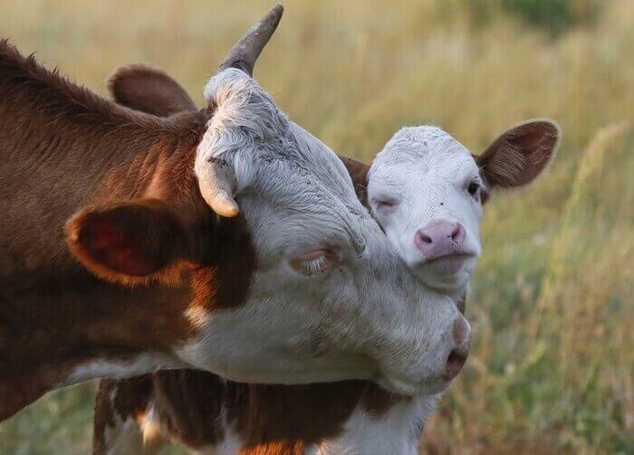 До чого сниться корова жінці або чоловікові?