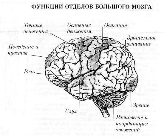 Головний мозок: функції