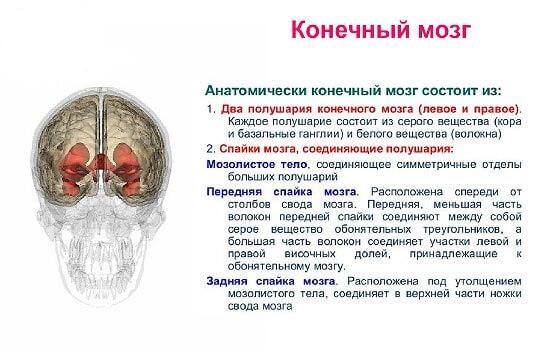 Кінцевий мозок