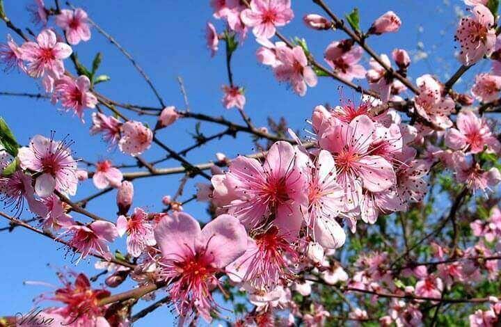 Цвітіння персика