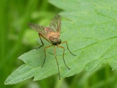 Комар-довгоніжка