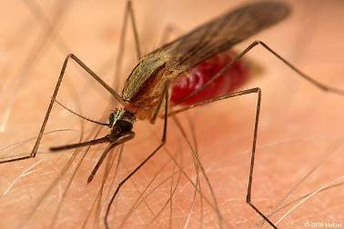 Комар малярійний