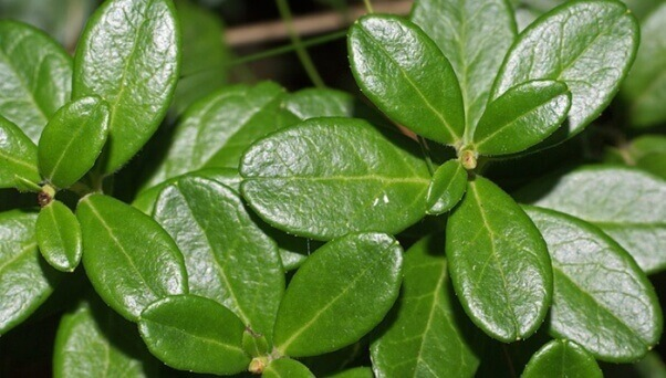 Лікування циститу брусничним листом