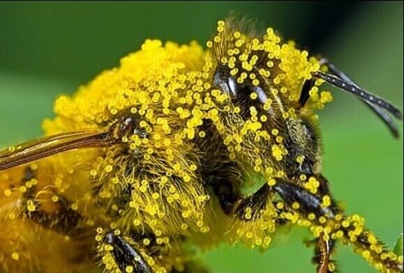 Пилок бджолиний - корисні властивості