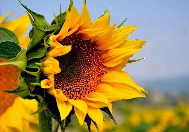 Соняшник від гіпертонії
