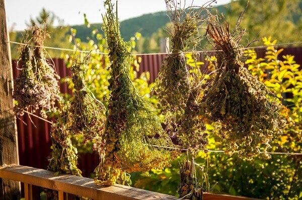 Збір трав при варикозі