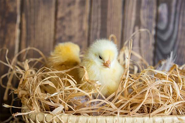 Сонник курчата: до чого сняться і що означають сни про курчат