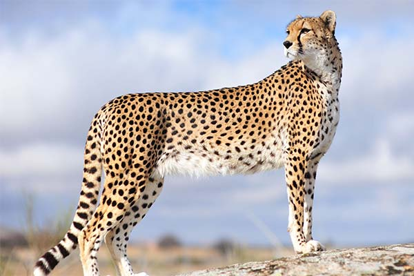 Сонник гепард: до чого сниться і що означає сон про гепарда