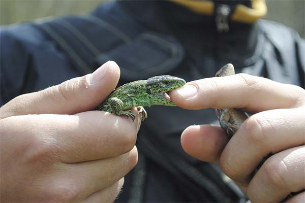 Сонник ящірка: до чого сниться і що означає сон про ящірку