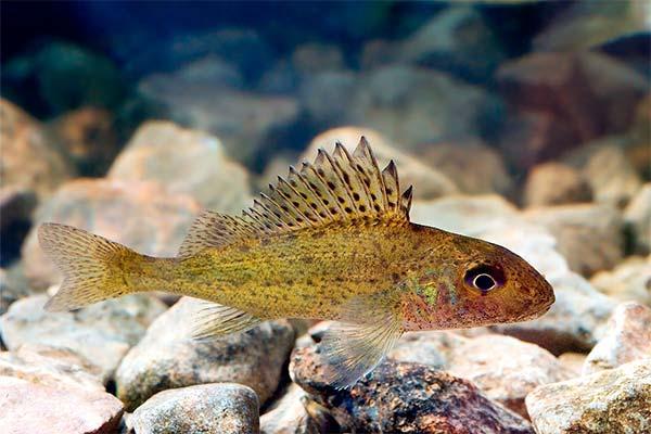 Сонник йорж (риба): до чого сниться і що означає сон про йоржа?