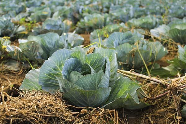 Сонник капуста: до чого сниться і що означає сон про капусту