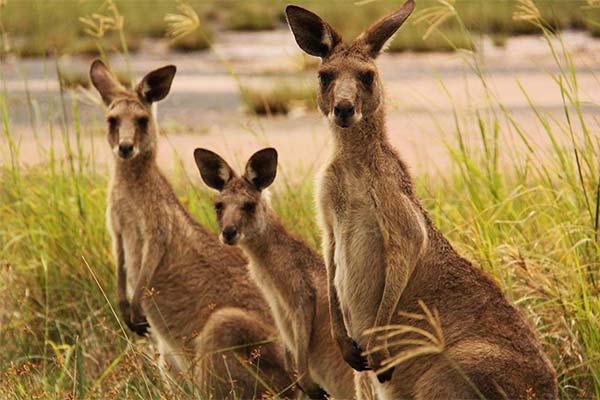 Сонник кенгуру: до чого сниться і що означає сон про кенгуру