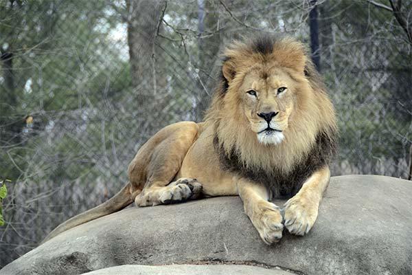 Сонник лев: до чого сниться і що означає сон про левів