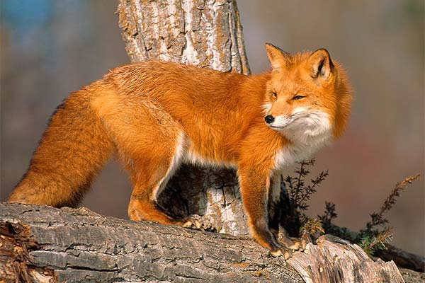 Сонник лисиця: до чого сниться і що означає сон про лисицю
