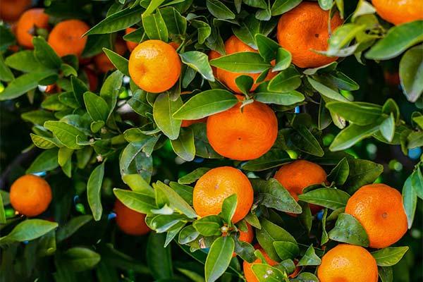 Сонник мандарини: до чого сняться і що означають сни про мандарини