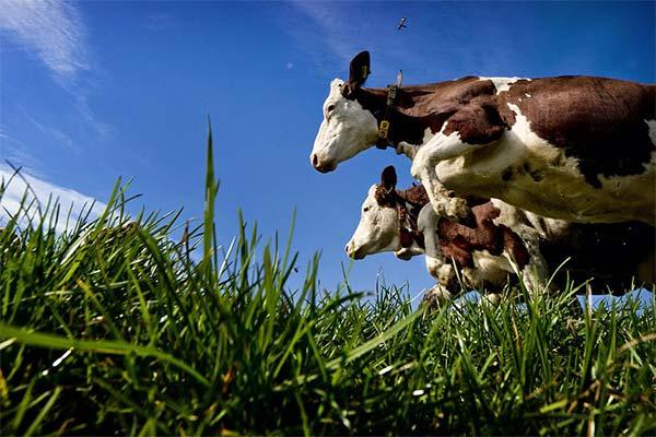 Сонник напад корови: до чого сниться і що означає сон про напад корови