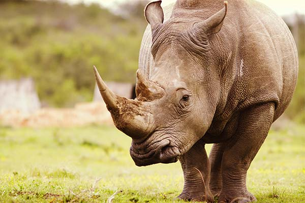 Сонник носоріг: до чого сниться і що означає сон про носорога