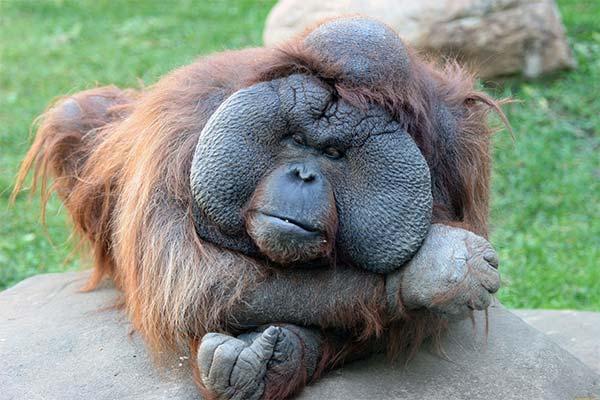 Сонник мавпа: до чого сниться і що означає сон про мавпу