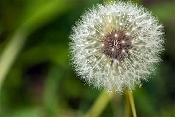 Сонник кульбаби: до чого сняться і що означають сни про кульбабки