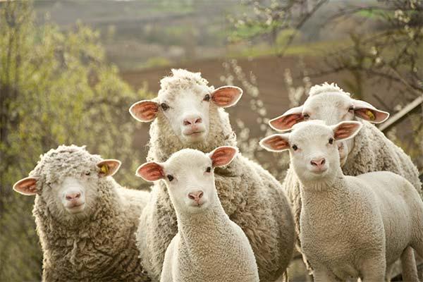 Сонник вівці: до чого сняться і що означають сни про овець