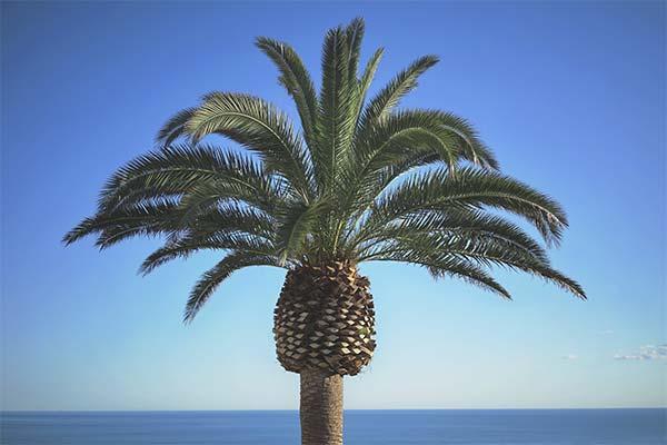 Сонник пальма: до чого сниться і що означає сон про пальму