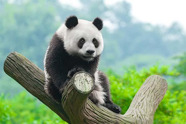Сонник панда: до чого сниться і що означає сон про панду