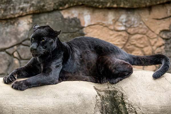 Сонник пантера: до чого сниться і що означає сон про пантеру