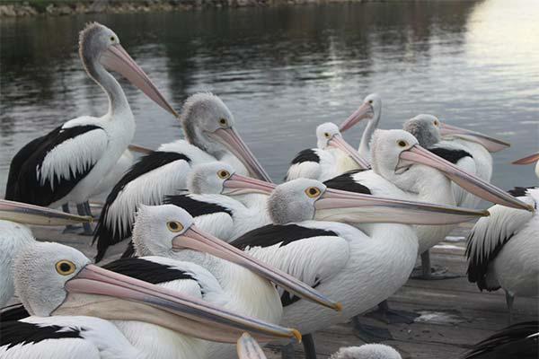 Сонник пелікан: до чого сниться і що означає сон про пелікана