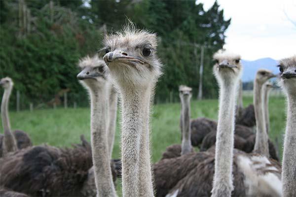 Сонник страус: до чого сниться і що означає сон про страуса