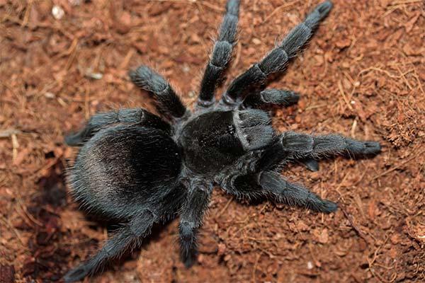 Сонник тарантул: до чого сниться і що означає сон про тарантула
