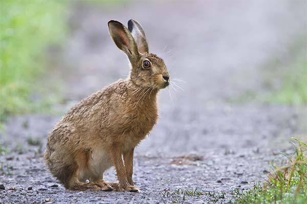 Сонник заєць: до чого сниться і що означає сон про зайця