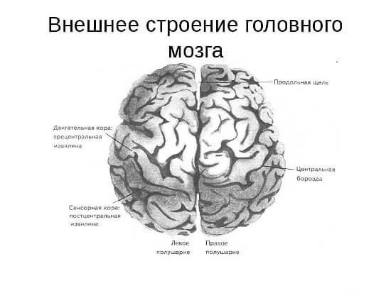 Головний мозок будова