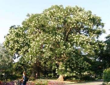 Софора японська дерево