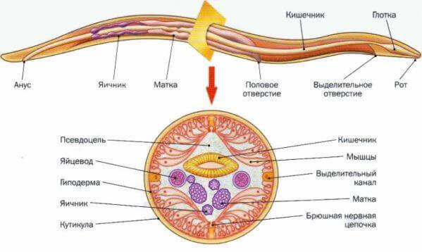 Схема будови паразита аскарида людська