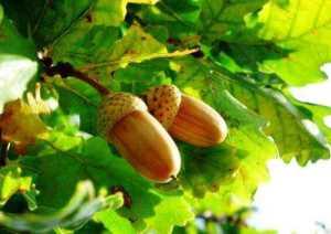 Дуб. Лікувальні властивості дубової кори