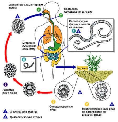 Схема життєвого циклу аскариди людської