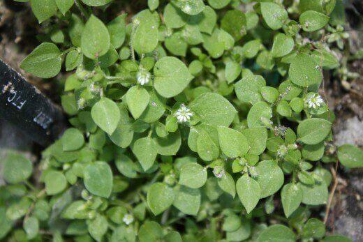 Корисні властивості трави мокриця