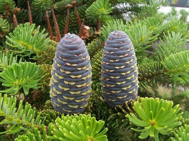 Ялиця сибірська (Abies sibirica)