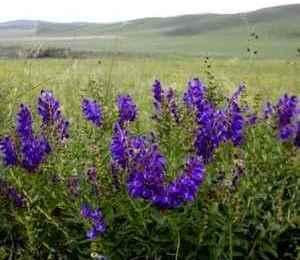 Шоломниця байкальська - лікувальні властивості