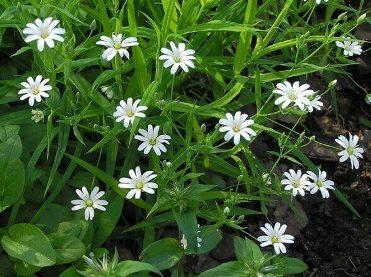 Трава мокрицяі (зірочник) лікувальні властивості