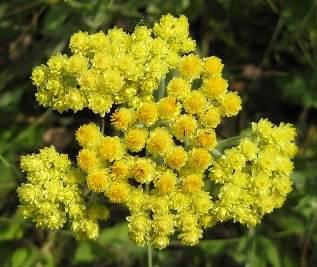 Безсмертник (цмин) лікувальні властивості трави
