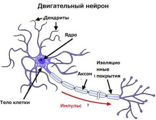 Будова рухового нейрона